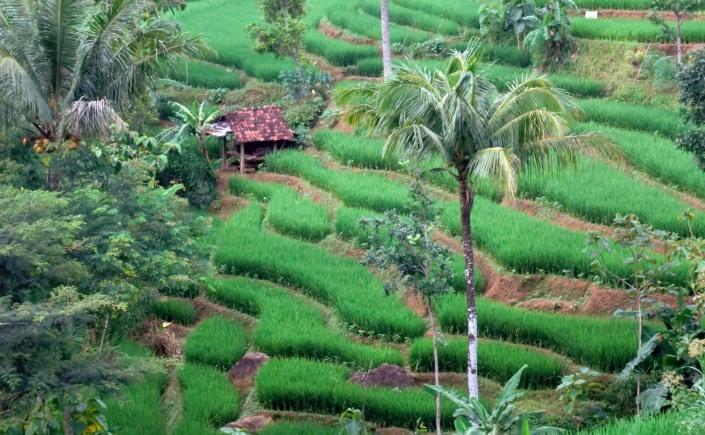 Foto Indahnya Alam Pedesaan Sawah Di Desaku